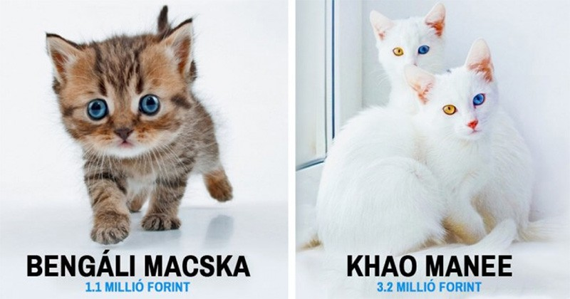 A 17 legszebb macska a világon, akiért persze borsos árat kell fizetnünk